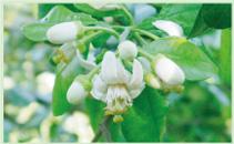 大白柚花瓣