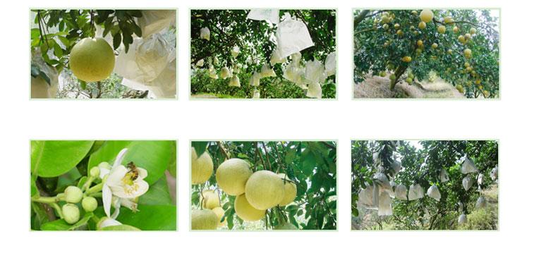 蜜柚相關照片